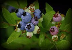 blueberries0814