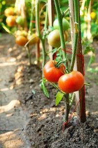 tomatoesplants