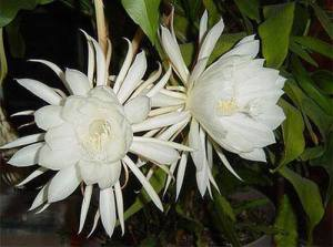 onion-flower.jpg